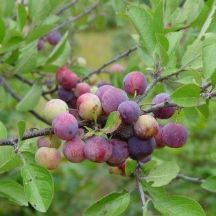 Beach Plum - Prunus maritima