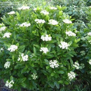 Nannyberry - Viburnum lentago