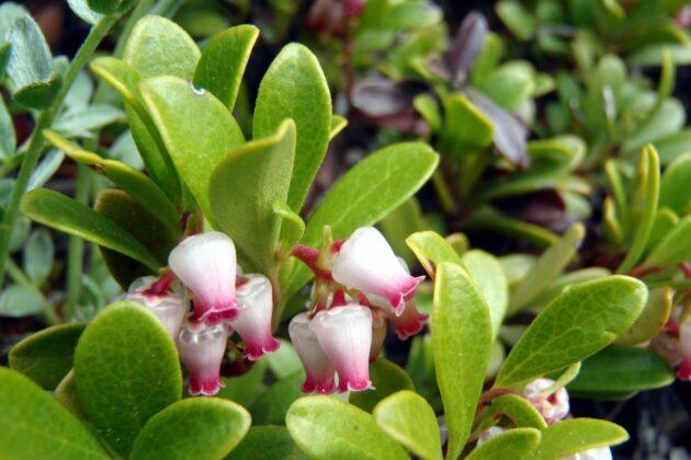 Bearberry - Arctostaphylos uva-ursi