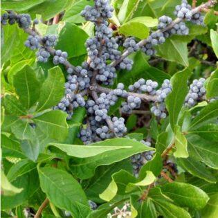 Northern Bayberry - Morella (Myrica) pensylvanica