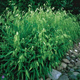 Northern Sea Oats - Chasmanthium latifolium