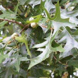Pin Oak - Quercus palustris