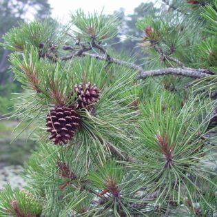 Pitch Pine - Pinus rigida