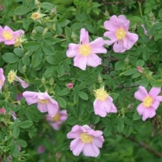 Prairie Rose - Rosa virginiana