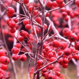 Red Chokeberry - Aronia arbutifolia