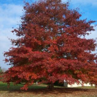 Red Oak - Quercus rubra