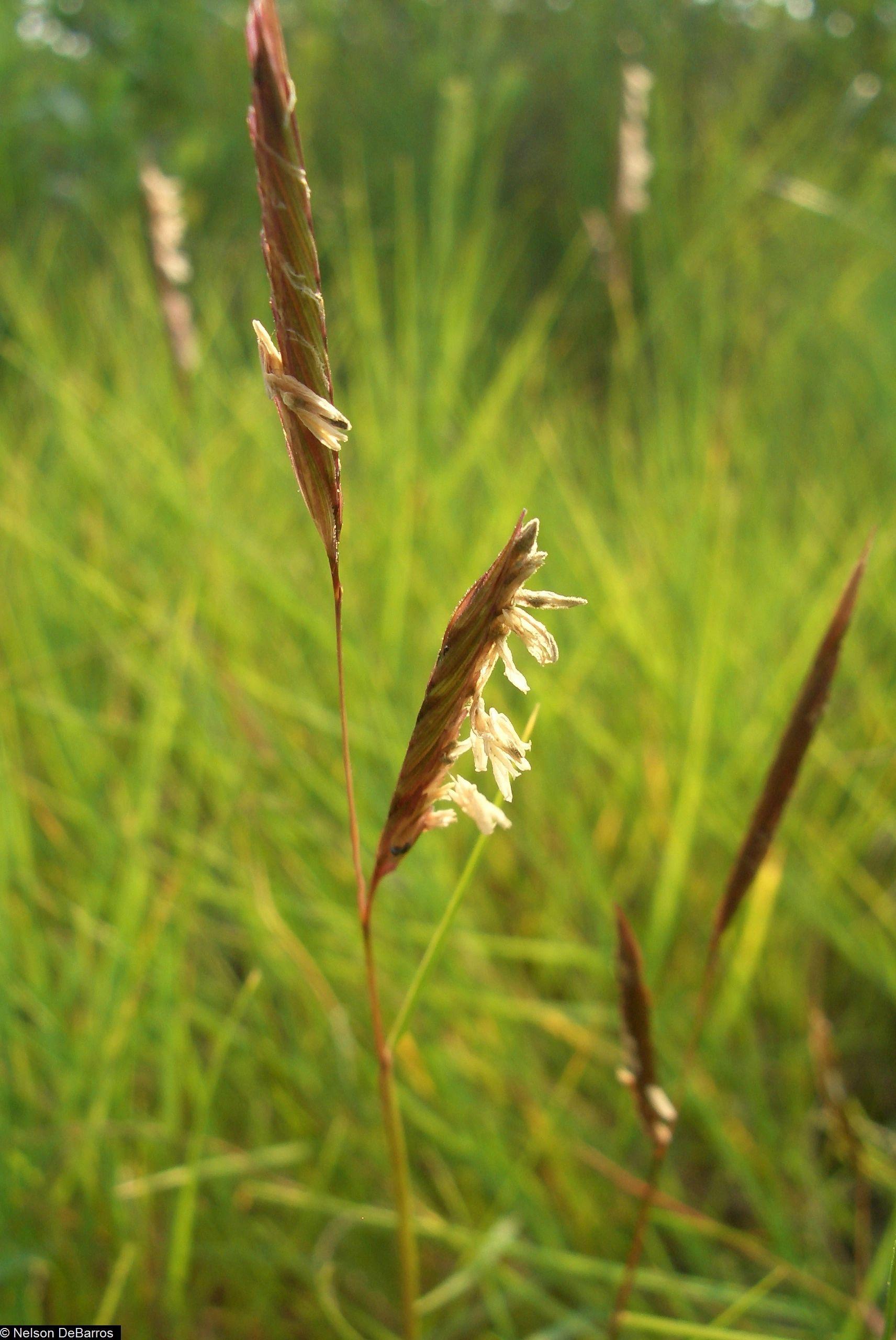 Saltmeadow Cordgrass - Spartina patens