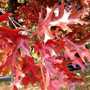 Scarlet Oak - Quercus coccinea