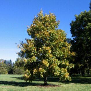 Shagbark Hickory - Carya ovata