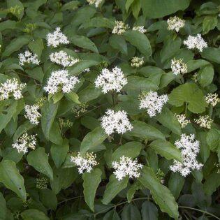 Silky Dogwood - Cornus amomum