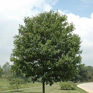 Sugar Maple - Acer saccharum