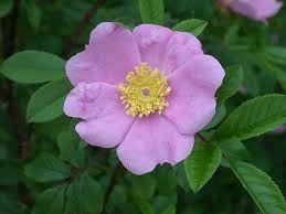 Swamp Rose - Rosa palustris