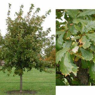 Swamp White Oak - Quercus bicolor