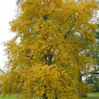 Sweet Birch - Betula lenta