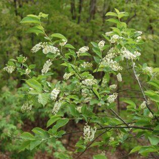 Black Cherry - Prunus serotina