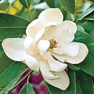 Sweetbay Magnolia - Magnolia virginiana