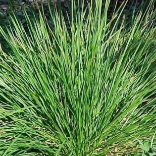 Tufted Hair Grass - Deschampsia cespitosa