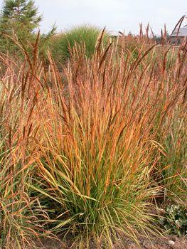 Yellow Indian Grass - Sorghastrum nutans