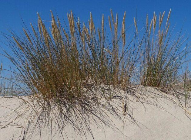 American Beach Grass - Ammophila breviligulata