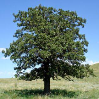 Black Oak - Quercus velutina