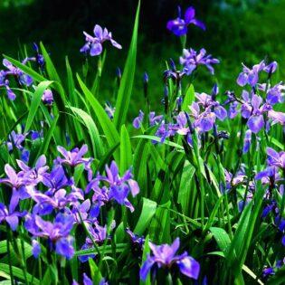 Blue Flag Iris - Iris versicolor