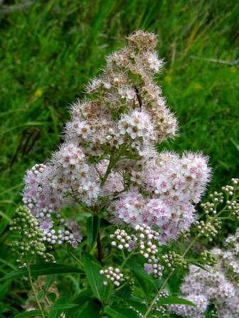 Broadleaf Meadowsweet - Spirea latifolia