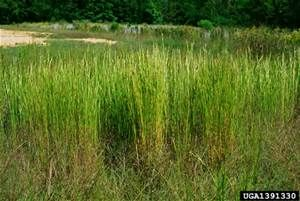 Broomsedge - Andropogon virginicus