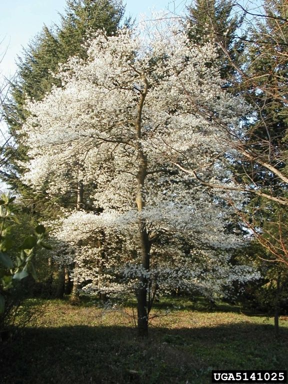 Canadian Serviceberry - Amelanchier canadensis