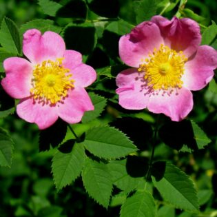 Carolina Rose - Rosa carolina