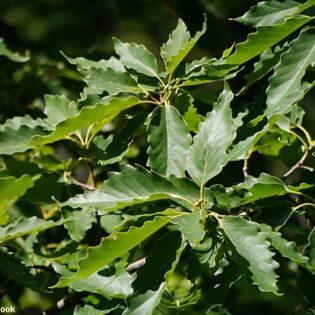 Chestnut Oak - Quercus prinus