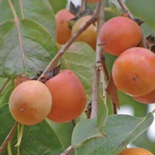 Common Persimmon - Diospyros virginiana