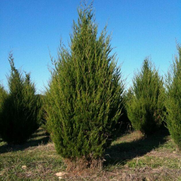 Eastern Red Cedar - Juniperus virginiana