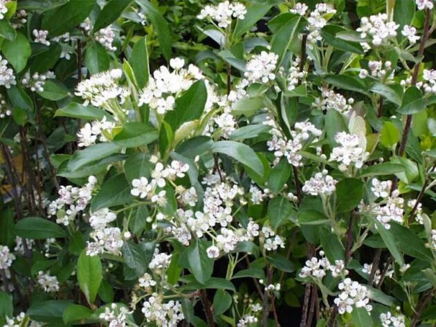 """Brilliantissima"" Chokeberry - Aronia arbitufolia ""Brilliantissima"""