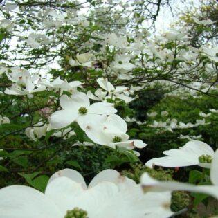 Flowering Dogwood - Cornus florida