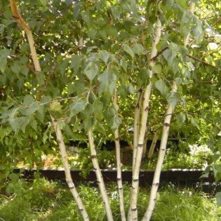 Gray Birch - Betula populifolia