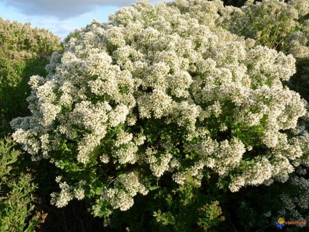 Groundsel Tree - Baccharis halimifolia