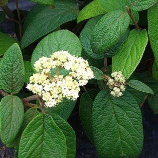 Lantanaphyllum Viburnum - Viburnum rhytidophylloides