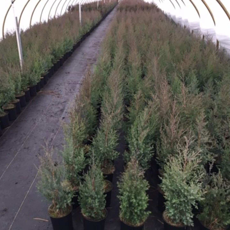 Million trees project red cedar
